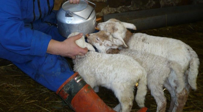 Moine berger donnant le biberon aux agneaux