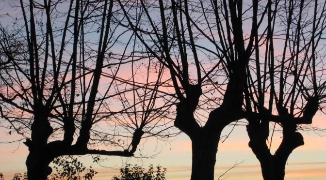 platanes en hiver en contre-jour sur aurore